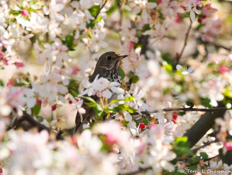 A Hermit Thrush perched in a Cherry blossom tree blooming at Descanso Gardens.
