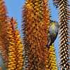 A Yellow-rumped Warbler hanging onto the side of an Aloe plant in bloom