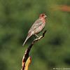 A male House Finch perched on the tip of an Aloe plant