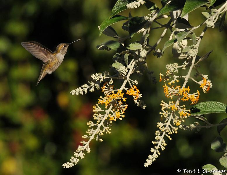An Anna's Hummingbird hovering near a Butterfly bush