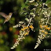 An Anna's Hummingbird hovering near a Butterfly bush