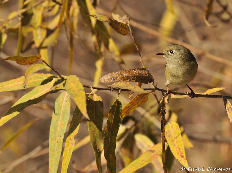 A Ruby-crowned Kinglet