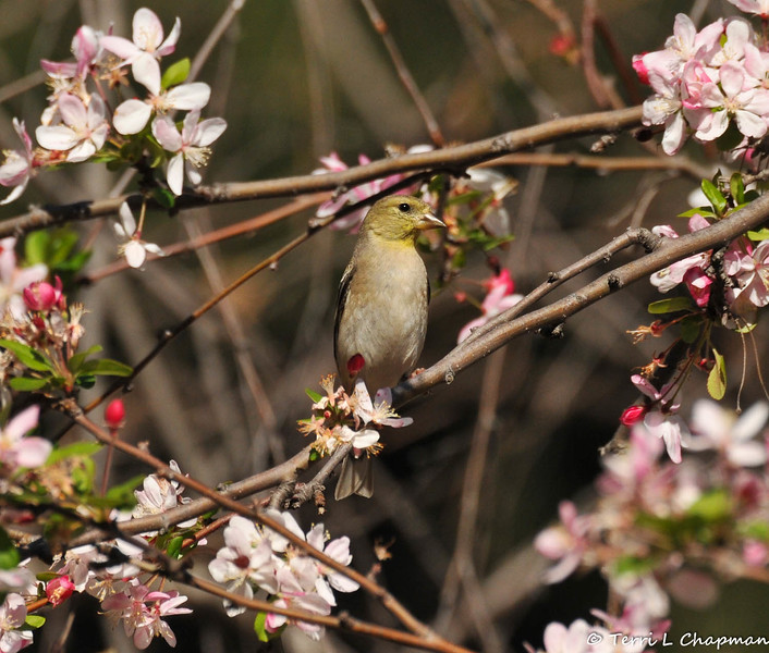 A female American Goldfinch perched in a Cherry blossom tree blooming at Descanso Gardens.
