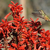 A female Allen's Hummingbird in flight over a blooming Aloe plant.