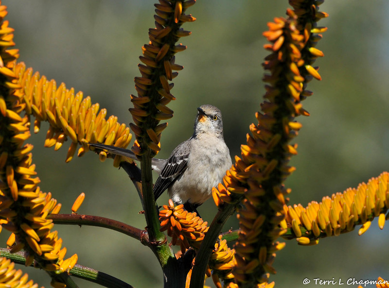 A Northern Mockingbird with pollen on its face from the Aloe blooms