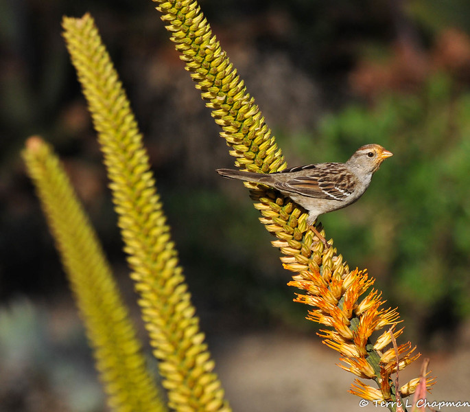 A juvenile White-crowned Sparrow, with nectar on its face, from the blooming Aloe plant