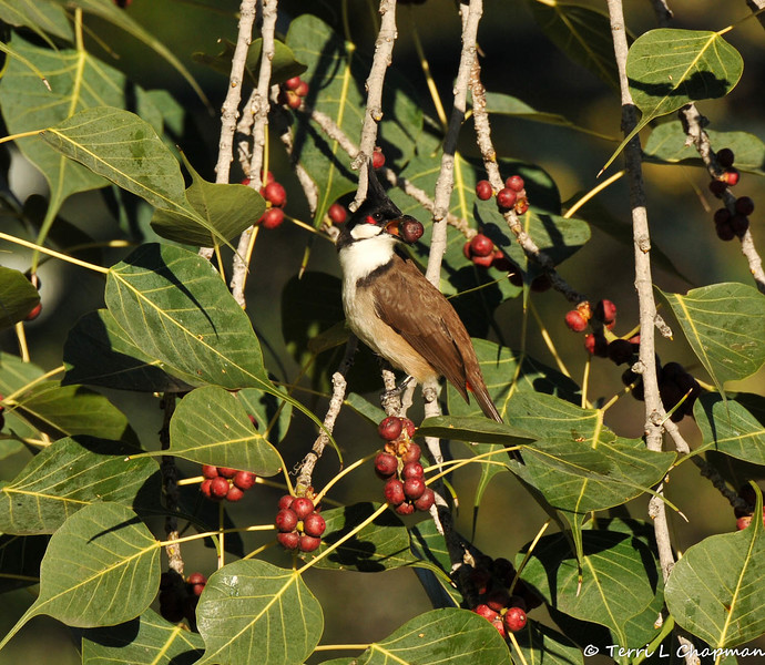 A Red-whiskered Bulbul with a berry from the Ficus religiosa Bo tree