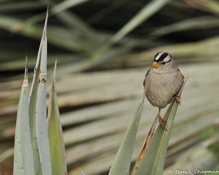 A White-crowned Sparrow perched on the tip of an Agave plant