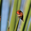 A male Allen's Hummingbird, with his iridescent gorget (throat) shining in the sunlight,  perched on the tip of an Aloe plant.