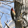 A Red-breasted Sapsucker on a Sweet Gum tree
