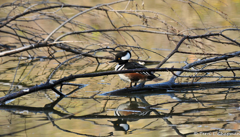 A stunning male Hooded Merganser perched on a downed tree limb in a lake - photographed on New Year's Day. This species is a wintering visitor in my area and is not often seen since this small duck prefers to swim and forage in protected areas.