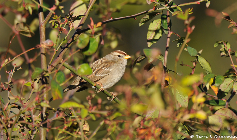 A juvenile White-crowned Sparrow perched on the stem of a rose bush