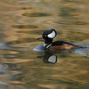 A male Hooded Merganser swimming in a lake
