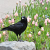 An American Crow posing by a tulip display at Descanso Gardens