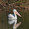 A lone American White Pelican swimming in a lake
