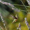 A female Allen's Hummingbird sipping nectar from a lavender bloom