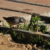 A White-crowned Sparrow eating weeds that are growing by the railway tracks at Descanso Gardens