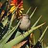 A Northern Mockingbird perched on an Aloe plant
