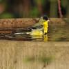A male Lesser Goldfinch taking a bath