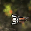 A male Hooded Merganser floating and resting on a pond with the reflection of the trees and flowers upon the water