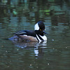 A male Hooded Merganser
