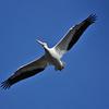 An American White Pelican in flight