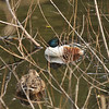 A male and female Northern Shoveler resting among a thicket of twigs