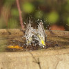 A male Lesser Goldfinch taking a bath