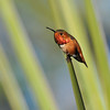 A side profile of a male Allen's Hummingbird perched on the tip of an Aloe plant.