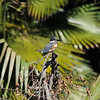 A female Belted Kingfisher. The Belted Kingfisher is one of the few bird species in which the female is more brightly colored than the male.