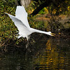 A Great Egret in flight after being alarmed by a bird of prey flying overhead.