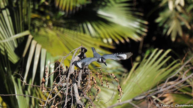 A female Belted Kingfisher in flight. The Belted Kingfisher is one of the few bird species in which the female is more brightly colored than the male.
