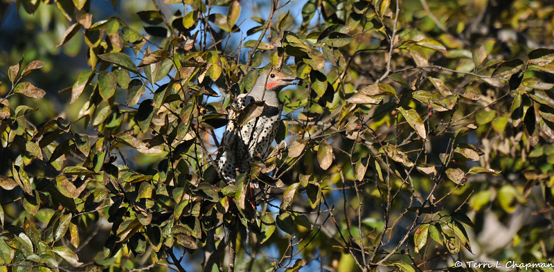 An adult male Red-shafted Northern Flicker eating a berry from the tree