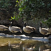 Canada Geese resting on a fallen tree in a lake