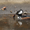 A male Hooded Merganser with a crayfish he had just caught