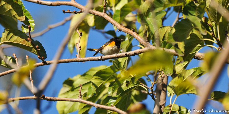 An adult male American Redstart photographed in Carson, California on January 4, 2019. This bird is considered a rare bird for the area, because the American Redstart winters east to the Lesser Antilles and south to northern South America.