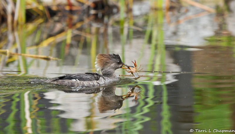 A female Hooded Merganser with a crayfish she had just caught
