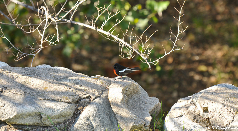An adult Painted Redstart warbler; photographed January 2, 2019, in Pasadena, California. This bird is considered a rare bird for my area, since the Painted Redstart spends winters south of the U.S. Mexico border throughout central Mexico. It breeds in southwestern Utah, central Arizona, western New Mexico, extreme western Texas, and northern Mexico. <br /> <br /> The Painted Redstart flashes its white wing patches and outer tail feathers when foraging. These action appear to flush insects that the redstart then pursues and captures.