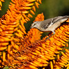 A Northern Mockingbird with blooming Aloe. Mockingbirds, and many birds, love to sip the nectar from Aloe blooms.
