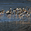 Black-necked Stilts at sunset