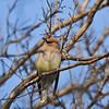 Cedar Waxwings perched in a Crape Myrtle tree