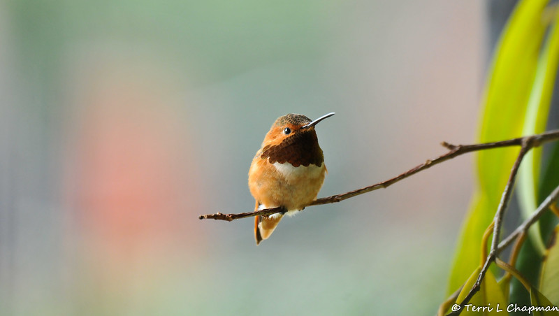 A male Allen's Hummingbird perched on the end of a ficus branch. I photographed this hummingbird from my front door since the bird was seeking shelter from the rain and the potted tree is located on my porch.