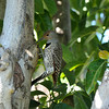 A beautiful, female, Northern Flicker searching for insects in my neighbor's Avocado tree.