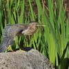 A Green Heron