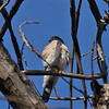 An adult Cooper's Hawk, using my Pecan tree, as a look-out spot for bird watching.