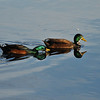 Hybrid male Mallard Ducks
