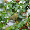 An Orange-crowned Warbler in my rose garden on a rainy day. This warbler was searching for insects.