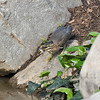 A Green Heron with a fish in its bill