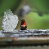 A male Allen's Hummingbird preparing to take a bath in my water fountain.
