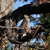 An adult Cooper's Hawk perched in my Pecan Tree.